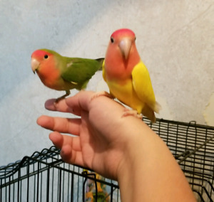 2 lovebirds comes with cage, toys and food