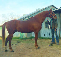 Experienced Horse Trainer also offering Equine and Hay Transport
