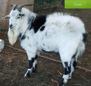 2 pet mini pygmy goats for sale