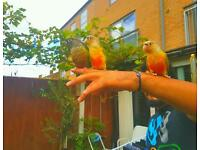 !!! SUPER TAME !!!! unique hand reared baby conure parrots birds