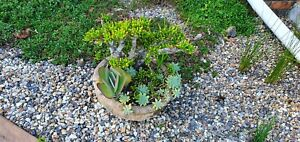 Mixed succulents in concrete pot - make me an offer!