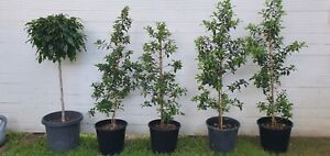 Lush Lilly Pilly trees in pots