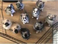 1 female & 1 male Pomeranian puppies