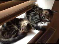 Rehoming my two beautiful Tabby cats