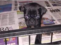 Last pug puppy