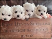 4 handsome Maltese boys looking for their new homes