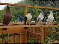 Afghani Pigeons for Sale
