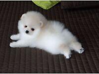 Teacup Pomeranian puppies *** 1 white female left***