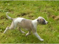 KC Reg Whippet Pups. Good lines with potential for work, show or pet