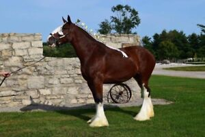 6yr old registered Clyde Mare