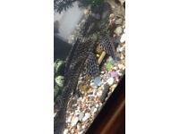 Plec Cat fish