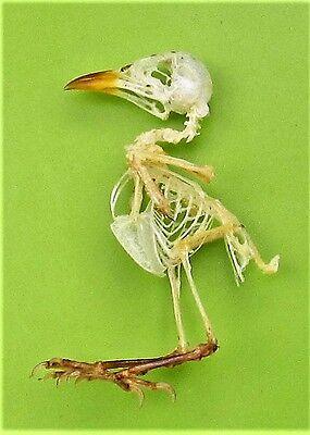 Scarlet-headed Flowerpecker Dicaeum trochileum Skeleton FAST SHIP FROM USA
