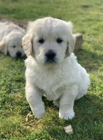 Golden Retreiver Puppies For Sale