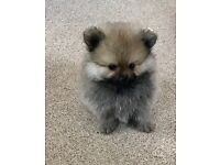 Kc reg Pomeranian puppies