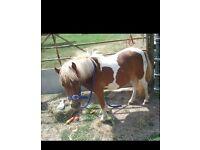 shetland pony for share/pos loan