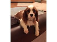Beautiful Male Cavalier King Charles Spaniel, 12 Weeks old.