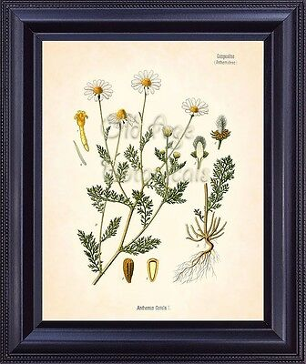 KOHLER Botanical Art Print Mayweed Chamomile Flower Chart Home Room Decor BF0707