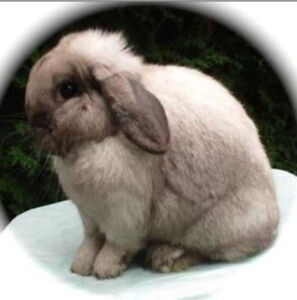 Rabbits for sale (holland Lop's)
