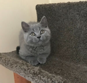 British shorthair male kitten