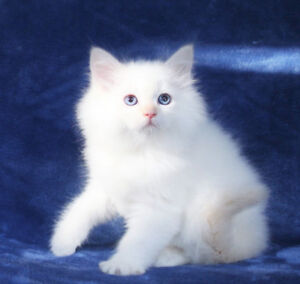 Beautiful BI-COLOURED RAGDOLL Kittens