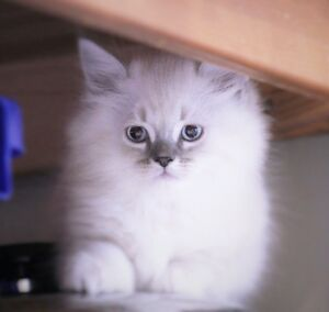 Beautiful PERSIAN kittens are ready for new homes