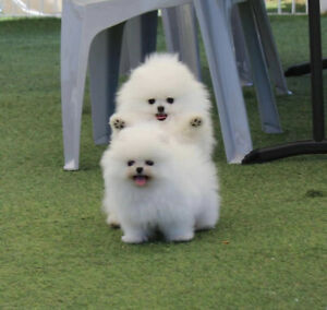 Pomeranian | Adopt Dogs & Puppies Locally in Greater