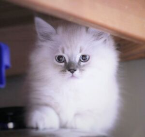 Doll face Persian kittens are ready for their new homes