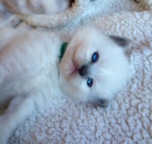 One TICA registered female lilac ragdoll available