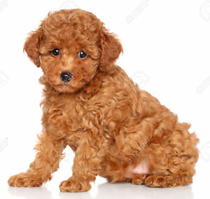 looking for red toy poodle