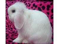 Blue eyes white mini lop