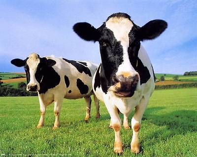 Two Cool Cows: 10x8 In. Photo-Art Print/Mini Poster