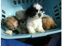 Shih tzu minature size pups