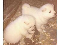 2x White Female Akita Pups
