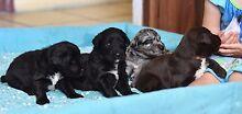 Bordoodle puppies!Merle,Choc & Black Childers Bundaberg Surrounds Preview