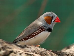 ZEBRA finches split for black cheek and cfw(white)- young