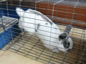 FREE pet rabbit Drummoyne Canada Bay Area Preview