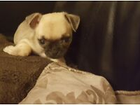 *** LOLA GORGEOUS MINIATURE / TINY PUG X CHIHUAHUA FOR SALE ***