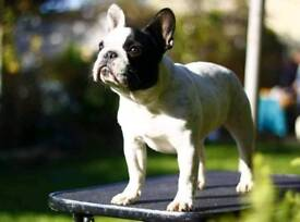 Kc French Bulldog girl for sale