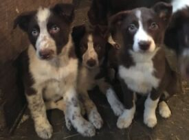 2 male collie pups