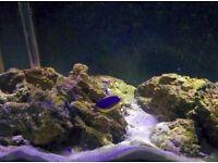 Blue fiji damsel