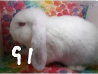 Mini Lop Babies for sale