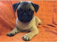 Adorable Male Pug puppy for sale