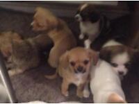 Gorgeous tiny chihuahua pups