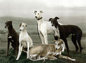 GREYHOUND-CHARMING-DOG-GREETINGS-NOTE-CARD-BEAUTIFUL-GROUP-OF-FIVE-DOGS