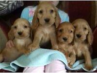 Golden cocker pups forsale 8 weeks old