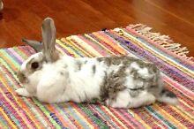 Desexed male rabbit for sale with hutch Burringbar Tweed Heads Area Preview