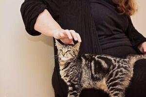 Tabby female kitten, vet work done Merriwa Wanneroo Area Preview