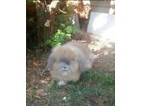 2 neutered male rabbits with cage and accessories