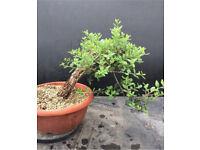 Quality Yamadori Qurecus Suber Cork Bark Oak Prebonsai