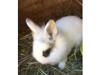 BABY RABBITS. 8 Baby Netherland Dwarf X rabbits for sale.